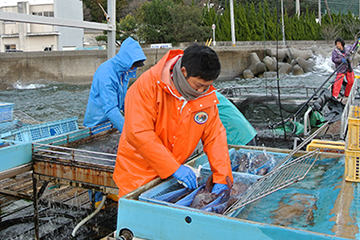 宇和島 養殖の真鯛